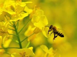 Photo of honey bee on oilseed rape. Photo - Sarah Hulmes, CEH
